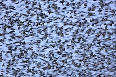 Brambling (Fringilla montifringilla) flock flying, Steiermark, Austria  -  Ingo Arndt