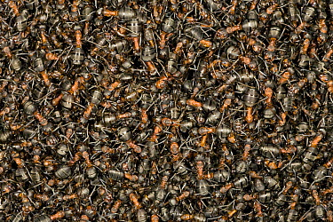 Red Wood Ant (Formica rufa) mass sunbathing at nest, Hessen, Germany  -  Ingo Arndt