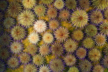 Sand Sea Urchin (Psammechinus miliaris) mass feeding on algae, North Sea, Germany  -  Ingo Arndt