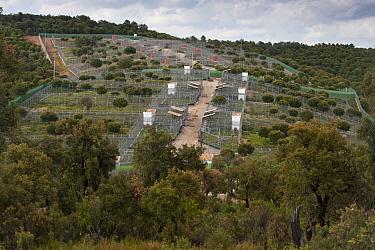 Spanish Lynx (Lynx pardinus) captive breeding center, Andalusia, Spain  -  Pete Oxford