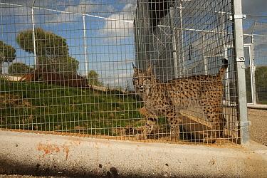 Spanish Lynx (Lynx pardinus) at captive breeding center, Andalusia, Spain  -  Pete Oxford