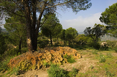 Artificial rabbit den within a wild rabbit breeding enclosure which is surrounded by a predator-proof fence over which the lynx can jump, but other predators cannot, Sierra de Andujar Natural Park, An...  -  Pete Oxford