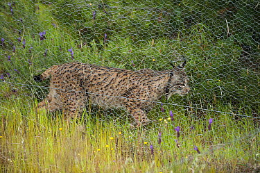 Spanish Lynx (Lynx pardinus) female walking next to predator fence which she can jump to hunt rabbits while other predators are excluded, Sierra de Andujar Natural Park, Andalusia, Spain  -  Pete Oxford