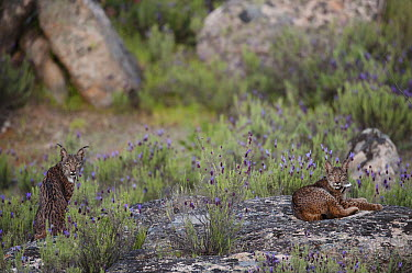 Spanish Lynx (Lynx pardinus) female and one year old male offspring with GPS tracking collar, Sierra de Andujar Natural Park, Andalusia, Spain  -  Pete Oxford