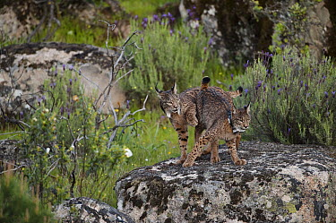 Spanish Lynx (Lynx pardinus) female and one year old male offspring, with GPS tracking collar, playing, Sierra de Andujar Natural Park, Andalusia, Spain  -  Pete Oxford