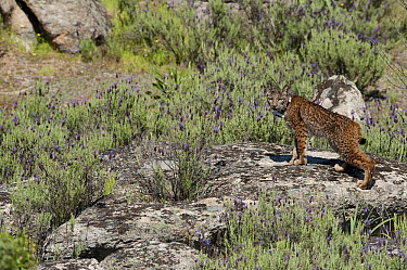 Spanish Lynx (Lynx pardinus) male, one year old, with GPS tracking collar, Sierra de Andujar Natural Park, Andalusia, Spain  -  Pete Oxford