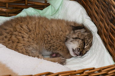 Spanish Lynx (Lynx pardinus) cub, Felina, is being hand raised as her mother was unable to take care of her, El Acebuche Breeding Center, Matalascanas, Donana National Park, Huelva, Andalusia, Spain  -  Pete Oxford