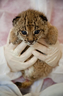 Spanish Lynx (Lynx pardinus) cub, Felina, is being hand raised as her mother was unable to take care of her, with Astrid Vargas, El Acebuche Breeding Center, Matalascanas, Donana National Park, Huelva...  -  Pete Oxford