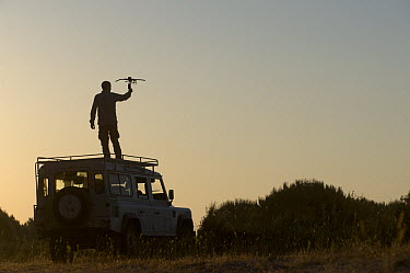 Spanish Lynx (Lynx pardinus) researcher, Leonardo Fernandez Pena, radio tracking, Donana National Park, Huelva, Andalusia, Spain  -  Pete Oxford
