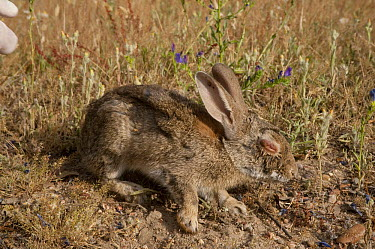 European Rabbit (Oryctolagus cuniculus) infected with myxomatosis, a viral infection that causes blindness and possibly death, Sierra de Andujar Natural Park, Andalusia, Spain  -  Pete Oxford