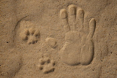 Spanish Lynx (Lynx pardinus) track and human hand print, Donana National Park, Huelva, Andalusia, Spain  -  Pete Oxford