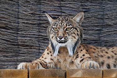 Spanish Lynx (Lynx pardinus) portrait, El Acebuche Breeding Center, Matalascanas, Donana National Park, Huelva, Andalusia, Spain  -  Pete Oxford
