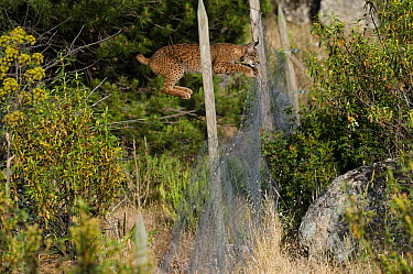 Spanish Lynx (Lynx pardinus) male jumping over fence that keeps other predators out but harbors rabbits for the lynx to prey upon, Sierra de Andujar Natural Park, Andalusia, Spain. Sequence 1 of 3  -  Pete Oxford