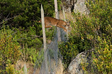 Spanish Lynx (Lynx pardinus) male jumping over fence that keeps other predators out but harbors rabbits for the lynx to prey upon, Sierra de Andujar Natural Park, Andalusia, Spain. Sequence 2 of 3  -  Pete Oxford