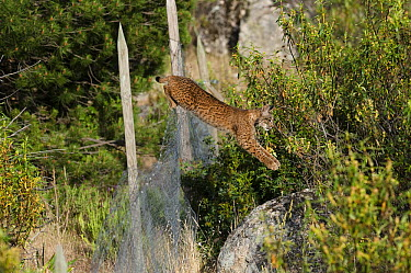 Spanish Lynx (Lynx pardinus) male jumping over fence that keeps other predators out but harbors rabbits for the lynx to prey upon, Sierra de Andujar Natural Park, Andalusia, Spain. Sequence 3 of 3  -  Pete Oxford