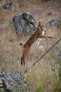 Spanish Lynx (Lynx pardinus) male, one year old, with GPS tracking collar and European Rabbit (Oryctolagus cuniculus) he has just caught, jumping over fence, Sierra de Andujar Natural Park, Andalusia,...  -  Pete Oxford