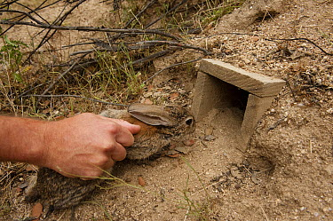 European Rabbit (Oryctolagus cuniculus) being released at a rabbit breeding enclosure to augment rabbit densities in areas where they are below threshold for lynx sustainability, Sierra de Morena Park...  -  Pete Oxford