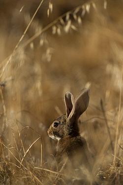 European Rabbit (Oryctolagus cuniculus), Sierra de Andujar Natural Park, Andalusia, Spain  -  Pete Oxford