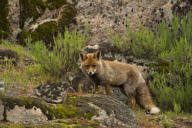 Red Fox (Vulpes vulpes), Sierra de Andujar Natural Park, Andalusia, Spain  -  Pete Oxford