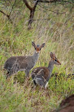 Kirk's Dik-dik (Madoqua kirkii) pair, Ol Malo Wildlife Sanctuary, Kenya  -  Tui De Roy