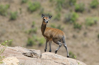 Klipspringer (Oreotragus oreotragus) on rocks, Kenya  -  Tui De Roy
