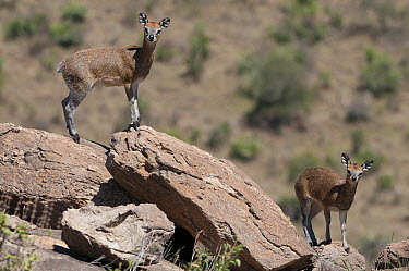 Klipspringer (Oreotragus oreotragus) pair on rocks, Kenya  -  Tui De Roy