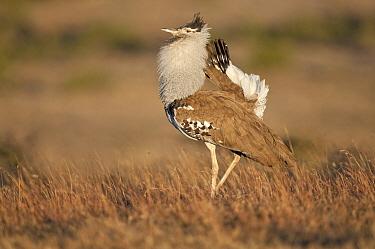 Kori Bustard (Ardeotis kori) male, Kenya  -  Tui De Roy