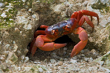 Christmas Island Red Crab (Gecarcoidea natalis) male awaits females in front of its mating burrow, Christmas Island, Indian Ocean, Territory of Australia  -  Ingo Arndt