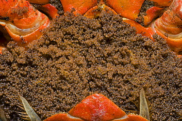 Christmas Island Red Crab (Gecarcoidea natalis) eggs in females opened brood pouch shortly before spawning, Christmas Island, Indian Ocean, Territory of Australia  -  Ingo Arndt