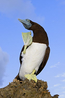 Brown Booby (Sula leucogaster) scratching, Christmas Island, Indian Ocean, Territory of Australia  -  Ingo Arndt