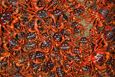 Christmas Island Red Crab (Gecarcoidea natalis) mass arriving at coast for spawning, Christmas Island, Indian Ocean, Territory of Australia  -  Ingo Arndt