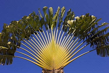 Travelers Palm (Ravenala madagascariensis), Christmas Island, Indian Ocean, Territory of Australia  -  Ingo Arndt