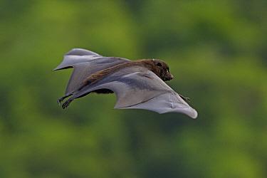 Black-eared Flying Fox (Pteropus melanotus), Christmas Island, Christmas Island, Indian Ocean, Territory of Australia  -  Ingo Arndt