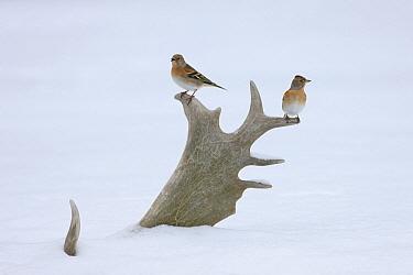 Brambling (Fringilla montifringilla) pair sitting on Fallow Deer (Dama dama) antler, Germany  -  Ingo Arndt