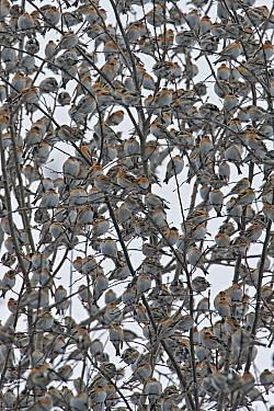Brambling (Fringilla montifringilla) flock, four million returning to sleeping place during overwintering in Black Forest, Germany  -  Ingo Arndt