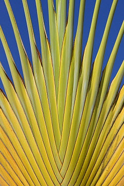Travelers Palm (Ravenala madagascariensis) frond, Christmas Island, Indian Ocean, Territory of Australia  -  Ingo Arndt