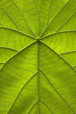 Parasol Leaf Tree (Macaranga tanarius) leaf showing ribs and veination, Christmas Island, Indian Ocean, Territory of Australia  -  Ingo Arndt