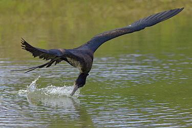 Great Frigatebird (Fregata minor) drinking freshwater while in flight, Christmas Island, Indian Ocean, Territory of Australia  -  Ingo Arndt