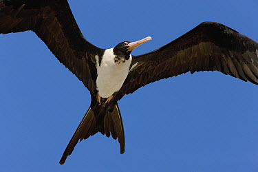 Christmas Island Frigatebird (Fregata andrewsi) flying, Christmas Island, Indian Ocean, Territory of Australia  -  Ingo Arndt