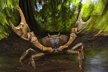 Blue Crab (Discoplax hirtipes) in defensive posture, Christmas Island, Indian Ocean, Territory of Australia  -  Ingo Arndt