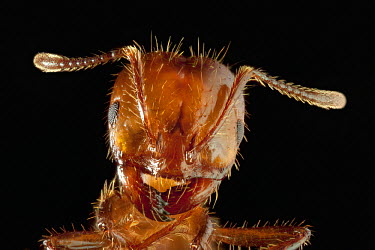 Red Imported Fire Ant (Solenopsis invicta), also known as RIFA, worker portrait, highly invasive introduced species, Texas  -  Michael Durham