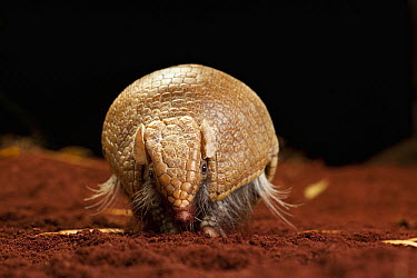 Southern Three-banded Armadillo (Tolypeutes matacus), native to Argentina, Brazil, Paraguay and Bolivia  -  Michael Durham