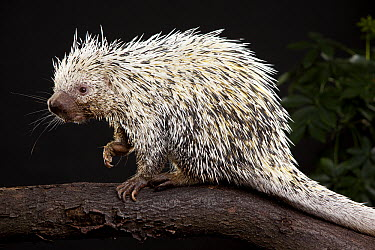 Brazilian Porcupine (Coendou prehensilis), native to Brazil, Argentina, Venezuela, the Guyanas, and Bolivia  -  Michael Durham