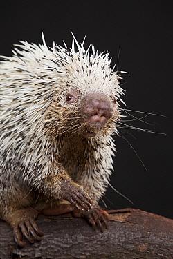 Brazilian Porcupine (Coendou prehensilis), native to Brazil, Argentina, Venezuela, the Guyanas, and Bolivia  -  Michael Durham