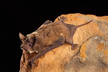 Brazilian Free-tailed Bat (Tadarida brasiliensis) roosting at night, central Texas  -  Michael Durham