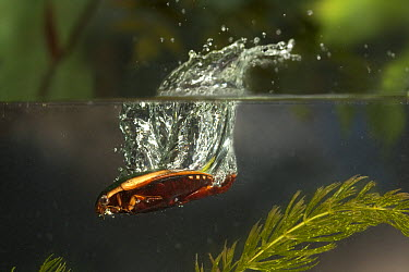 Diving Beetle (Cybister fimbriolatus) jumping into water, photographed with a high-speed camera, central Texas  -  Michael Durham