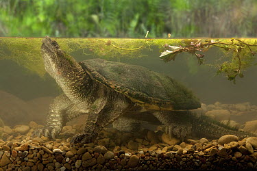 Snapping Turtle (Chelydra serpentina) underwater, central Texas, digital composite  -  Michael Durham