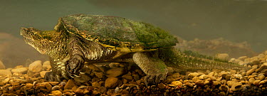 Snapping Turtle (Chelydra serpentina) underwater, central Texas  -  Michael Durham