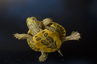 Red-eared Slider (Trachemys scripta elegans) young turtle swimming in water, central Texas  -  Michael Durham