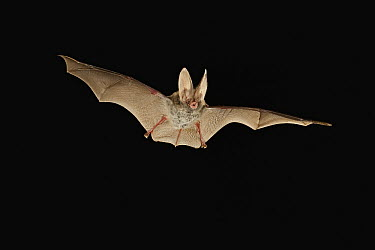 Eastern Big-eared Bat (Corynorhinus rafinesquii) flying at night, Big Thicket National Preserve, Texas  -  Michael Durham